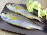 A034-3野生現撈黃雞魚200g~250g