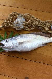 A001-4野生現撈黑喉魚200g~250g